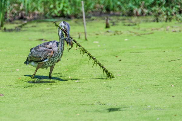 Photograph - Great Blue Heron Mouthful by Edward Peterson