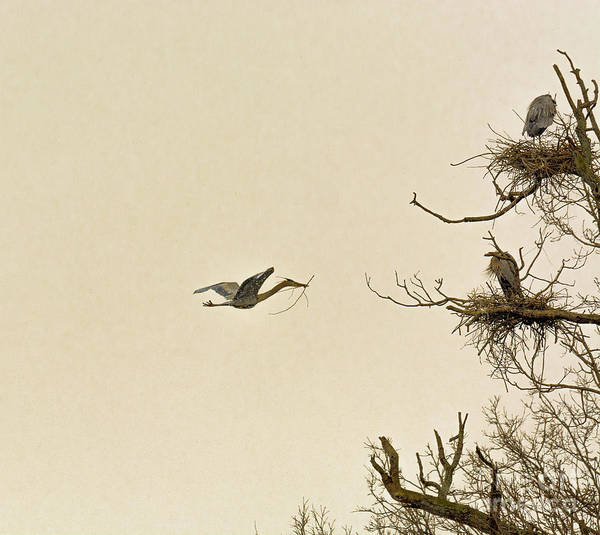 Great Blue Heron Nest Building Art Print