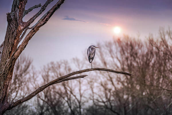 Photograph - Great Blue Heron On A Dead Tree Branch At Sunset by Patrick Wolf