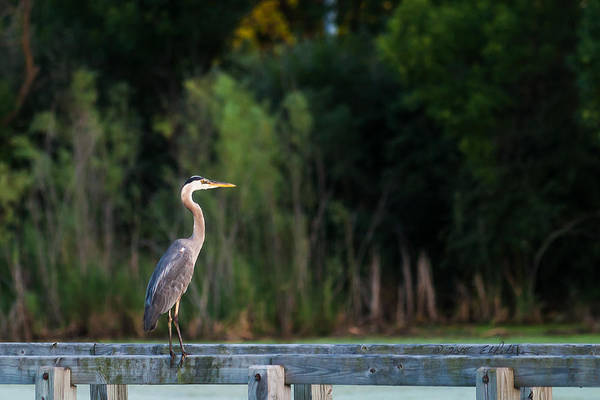 Photograph - Great Blue Heron On A Handrail by Edward Peterson