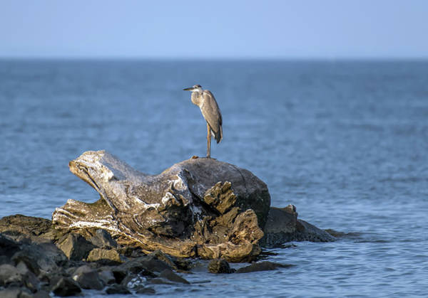 Photograph - Great Blue Heron On Chesapeake Bay by Patrick Wolf