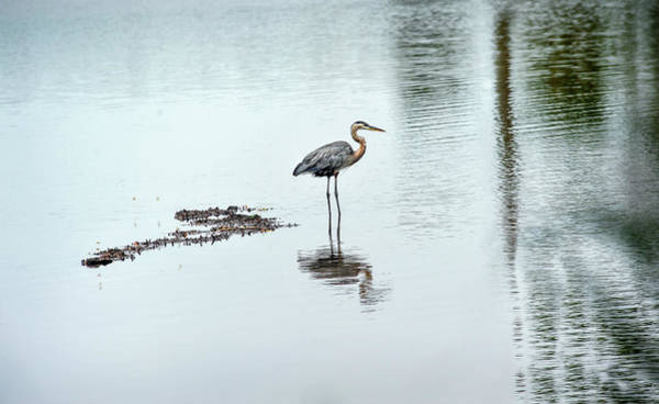 Photograph - Great Blue Heron On Chesapeake Bay Pond by Patrick Wolf