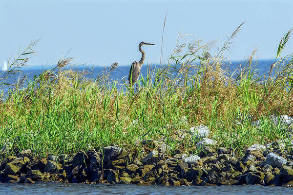 Photograph - Great Blue Heron On Jetty by Patrick Wolf