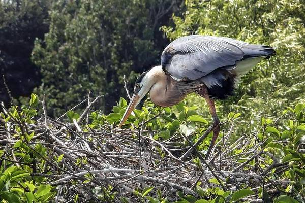 Photograph - Great Blue Heron On Nest by NaturesPix