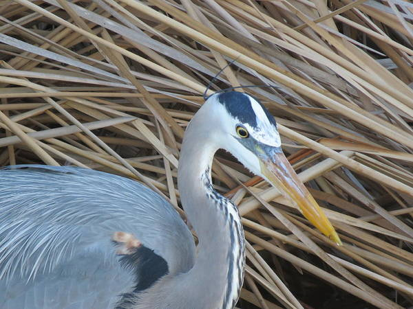 Photograph - Great Blue Heron On Spi by Keith Stokes