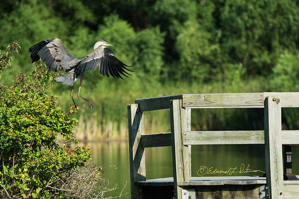 Photograph - Great Blue Heron On The Railing by Edward Peterson