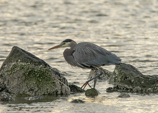 Photograph - Great Blue Heron On The Rocks by Loree Johnson