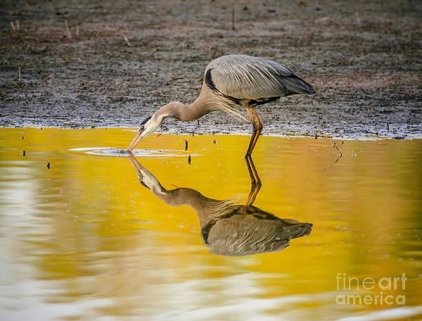 Bird Watcher Photograph - Great Blue Heron On Yellow by Robert Frederick