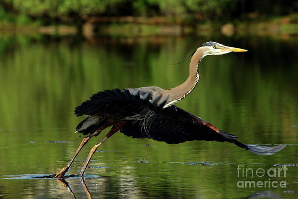 Great Blue Heron - Over Green Waters Art Print