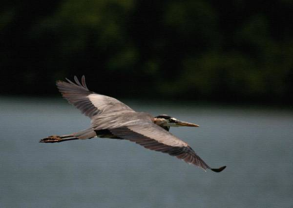 Photograph - Great Blue Heron Overflight With Canvas Application by David Dunham