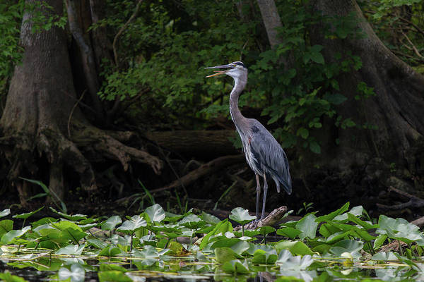 Photograph - Great Blue Heron by Paul Rebmann