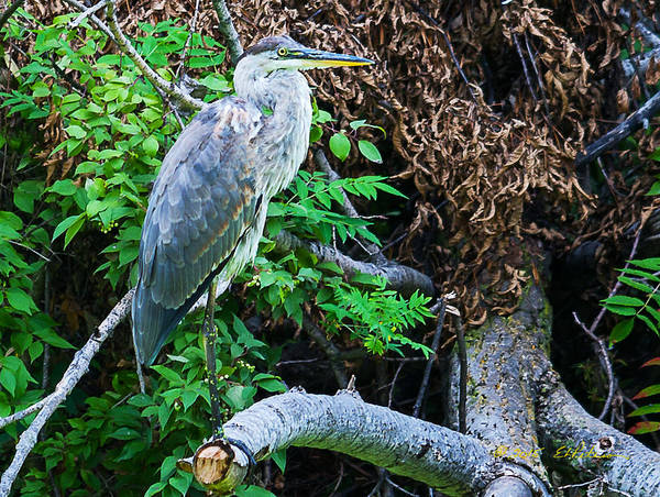 Photograph - Great Blue Heron Perch by Edward Peterson