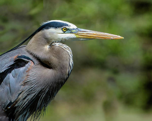 Wall Art - Photograph - Great Blue Heron Portrait by Dawn Key