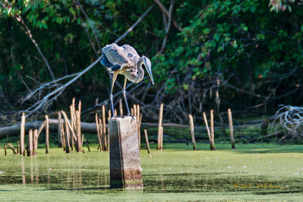 Photograph - Great Blue Heron Posed by Edward Peterson