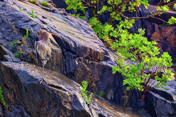 Photograph - Great Blue Heron by Rick Berk
