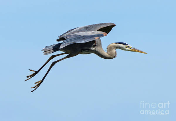 Photograph - Great Blue Heron Rising by Susan Wiedmann
