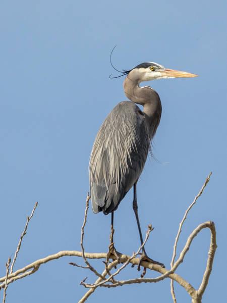 Photograph - Great Blue Heron Seeks Mate by Loree Johnson