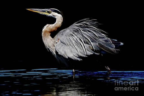 Photograph - Great Blue Heron Show Off by Sue Harper