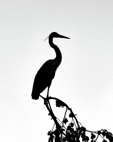 Photograph - Great Blue Heron Silhouette by Ken Stampfer