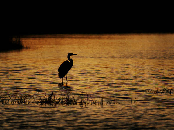 Photograph - Great Blue Heron Silohuette by Charles McKelroy