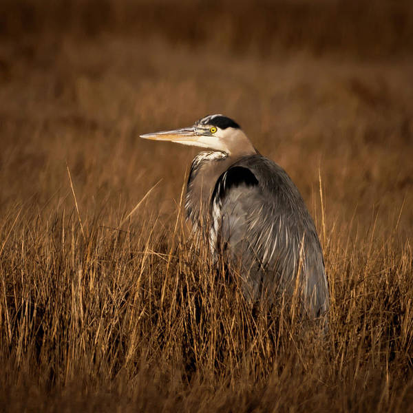 Photograph - Great Blue Heron Square by Terry DeLuco