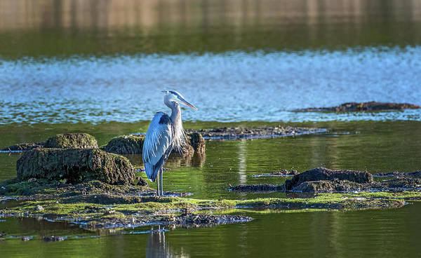 Photograph - Great Blue Heron Standing In A Chesapeake Bay Pond On A Sunny Da by Patrick Wolf