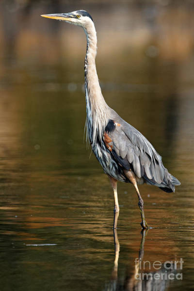 Photograph - Great Blue Heron Standing Tall by Sue Harper
