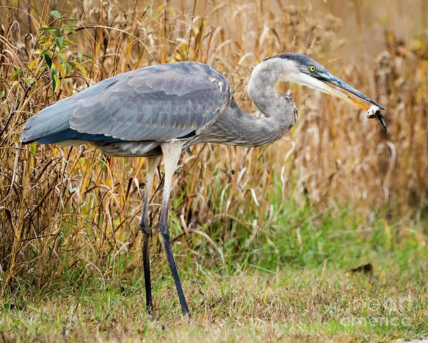 Photograph - Great Blue Heron Struggling With Lunch by Ricky L Jones