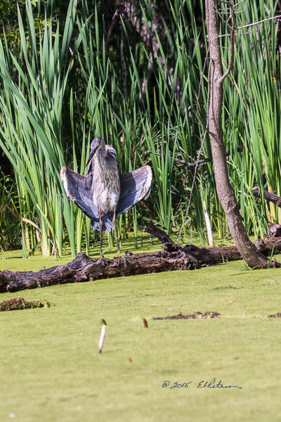Photograph - Great Blue Heron Sunning by Edward Peterson