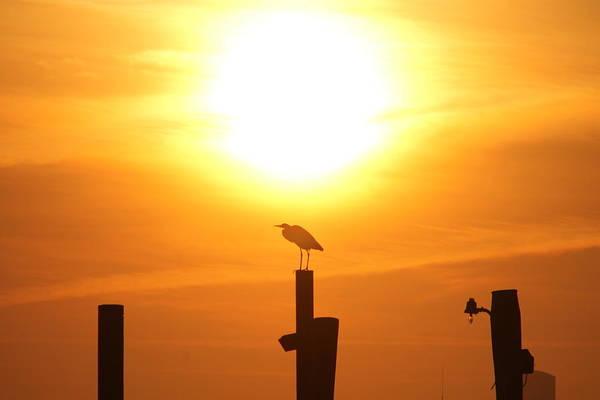 Photograph - Great Blue Heron Sunning by Robert Banach