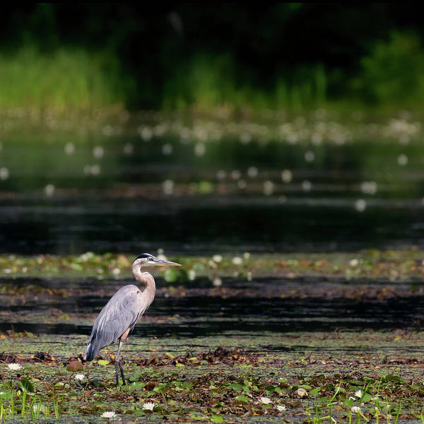 Photograph - Great Blue Heron Swamp Square by Bill Wakeley