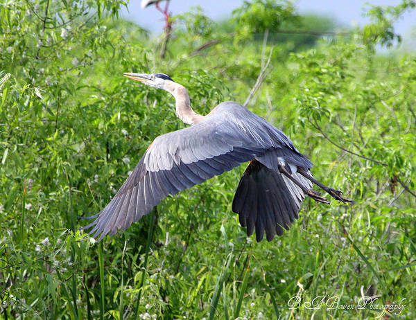 Photograph - Great Blue Heron Takeoff by Barbara Bowen