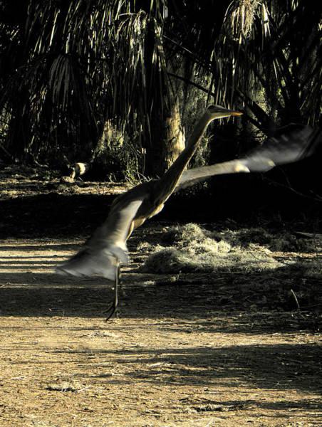 Alligator Alley Photograph - Great Blue Heron Taking Flight by Chris Mercer