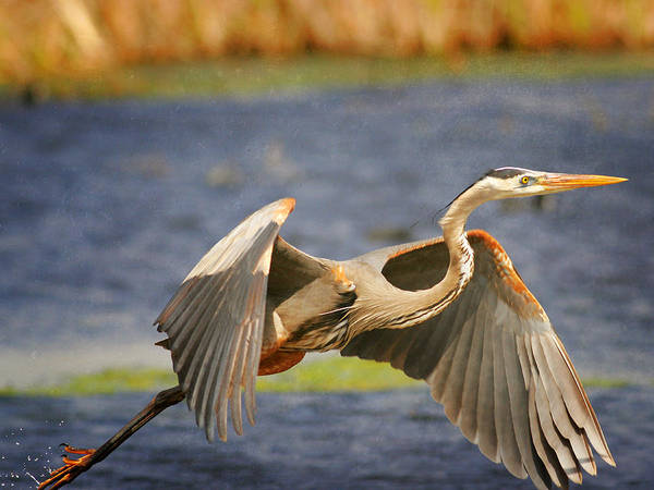 Photograph - Great Blue Heron Taking Off by Charles McKelroy