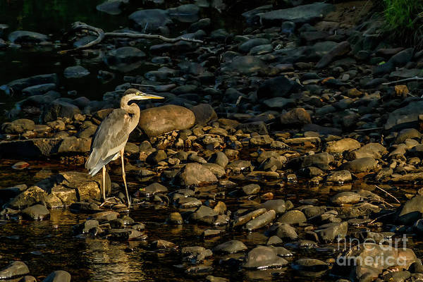 Photograph - Great Blue Heron by Thomas R Fletcher