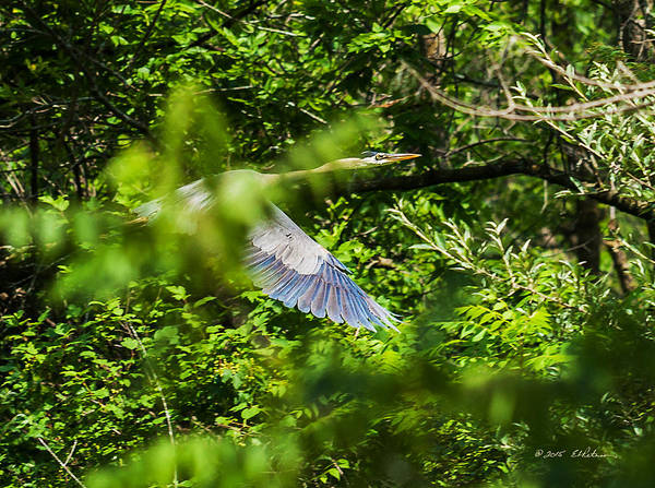 Photograph - Great Blue Heron Through The Trees by Edward Peterson