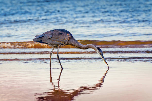Photograph - Great Blue Heron Twilight by Patrick Wolf