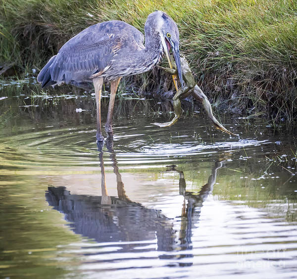 Great Blue Heron Vs Huge Frog Art Print
