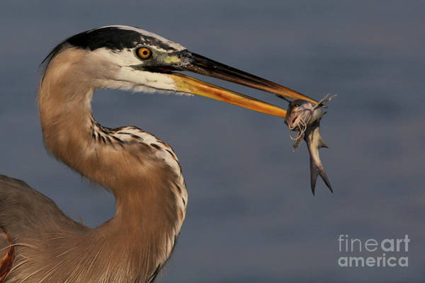 Photograph - Great Blue Heron W/catfish by Meg Rousher