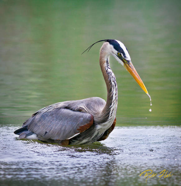 Photograph - Great Blue Heron Wading by Rikk Flohr