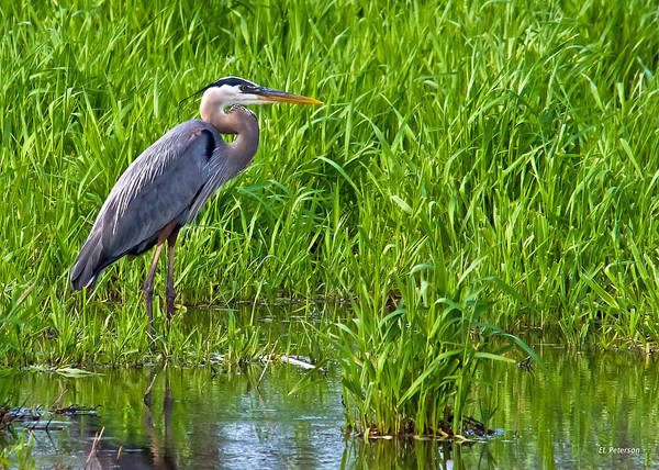 Photograph - Great Blue Heron Waiting by Edward Peterson