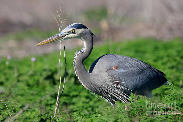 Photograph - Great Blue Heron by Wingsdomain Art and Photography