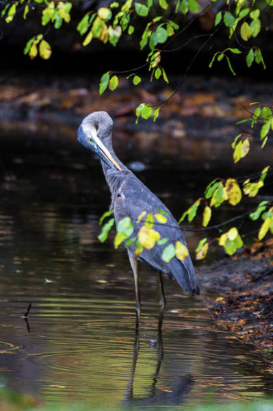 Photograph - Great Blue Heron With An Itch by Darryl Hendricks