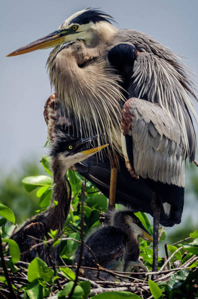 Great Blue Heron With Babies Art Print