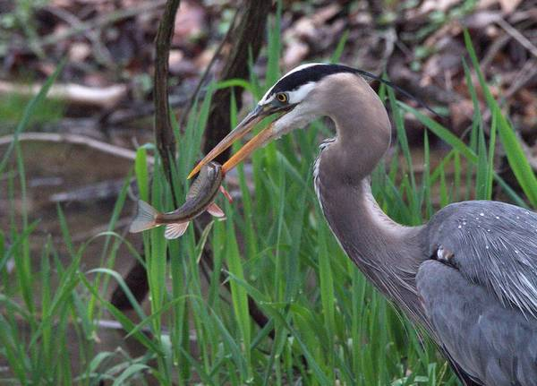 Photograph - Great Blue Heron With His Catch by Dan Sproul