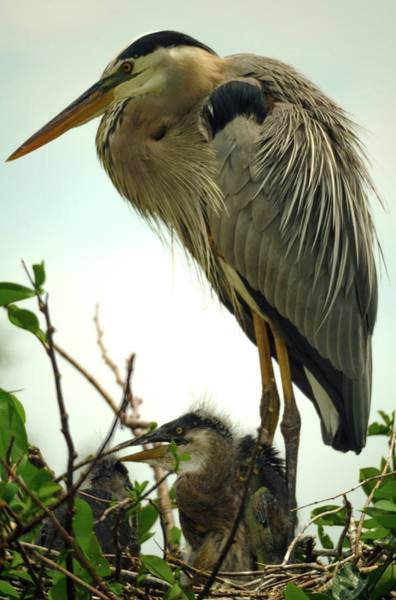 Photograph - Great Blue Heron With Offspring by Wolfgang Stocker