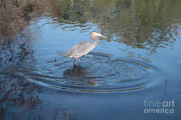 Wall Art - Photograph - Great Blue Heron With Ripples On Lake by Carol Groenen