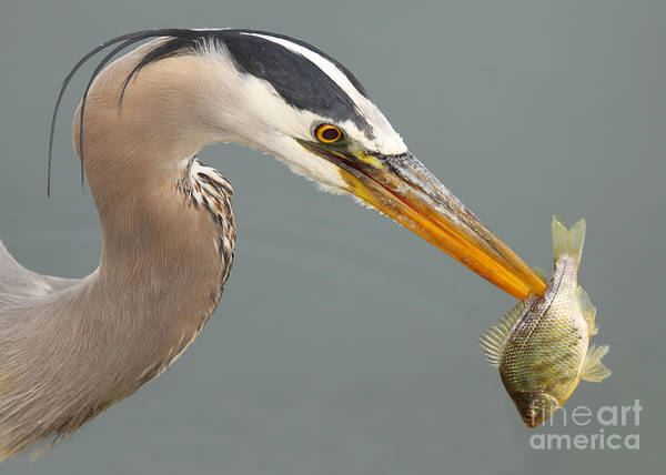 Wall Art - Photograph - Great Blue Heron With Speared Fish by Max Allen