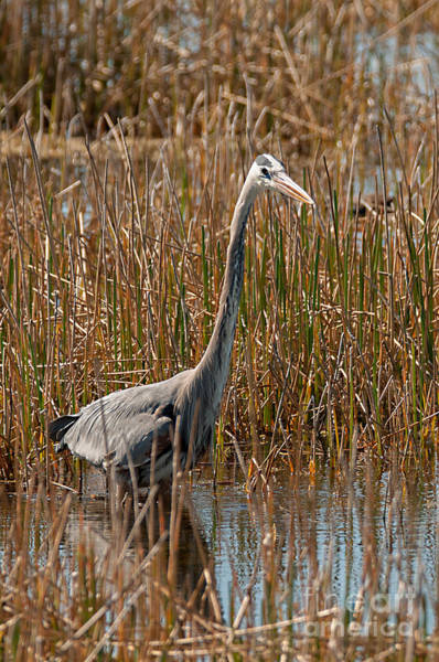 Photograph - Great Blue Hunt by Photos By Cassandra