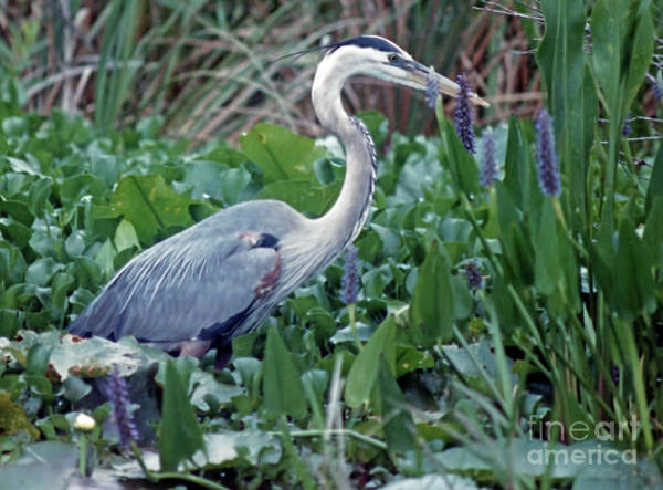 Photograph - Great Blue In The Lilies by D Hackett